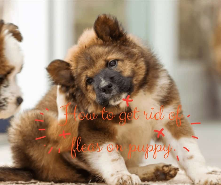 get-rid-of-fleas-on-puppy