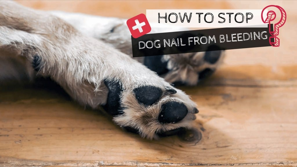 stop dog nail from bleeding