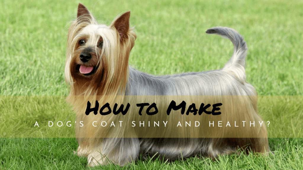 how to make a dog's coat shiny