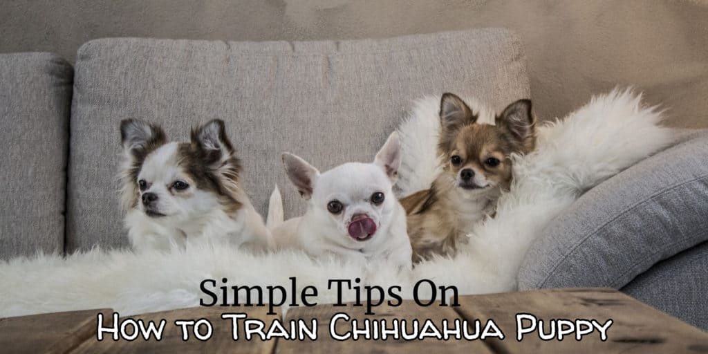 How to Train Chihuahua Puppy