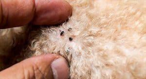 how fleas look like