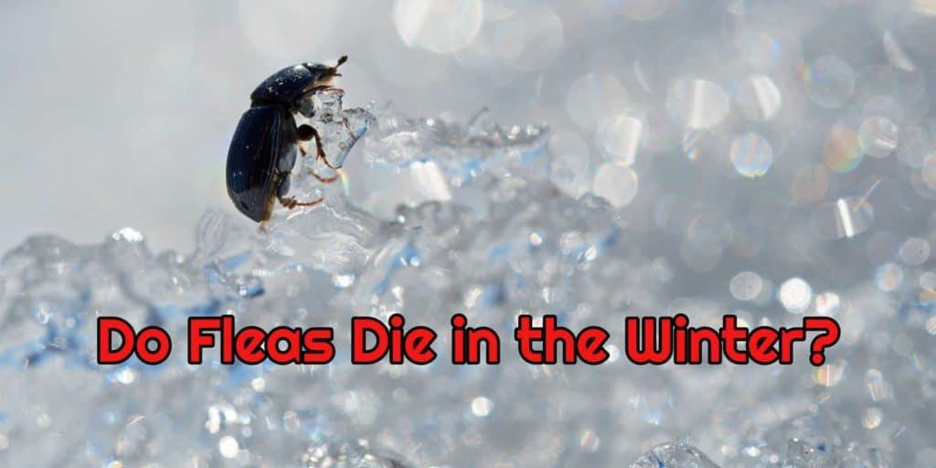 fleas die in the winter