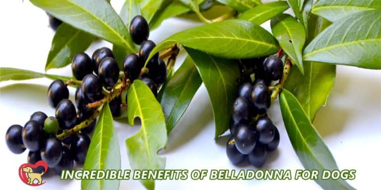 benefit of belladonna for dogs