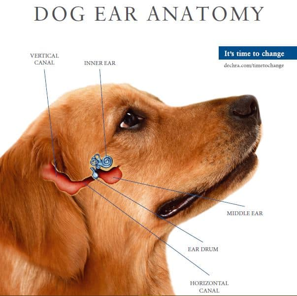 dogs' ear anatomy