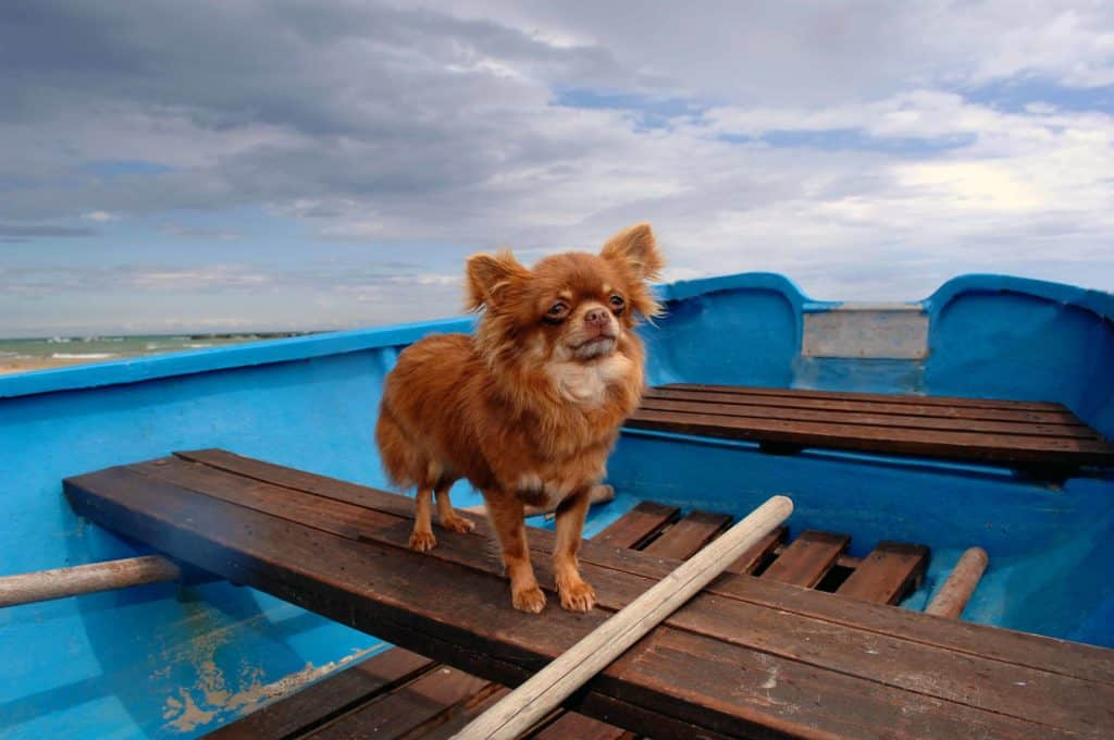 chihuahua-on-boat