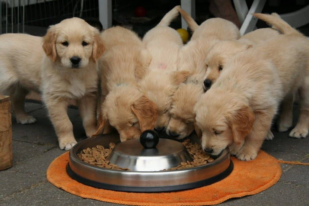 golden-retriever-puppy-eat -from-their-food-bowl